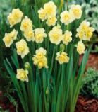 Narcisse \'Yellow Cheerfulness\'