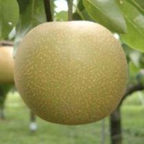 Nashi \'Hosui\', arbre fruitier caduc à feuille verte et aux fruits bronzé brun en été.