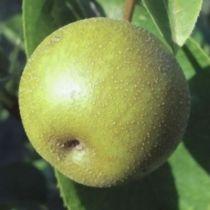 Nashi \'Shinseiki\', arbre fruitier caduc  à feuilles verte et aux fruits vert-jaune en été.