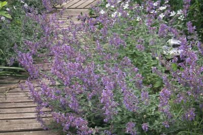 Nepeta faassenii 39 six hills giant 39 grandiflora for Soldes plantes vivaces