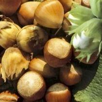 Noisetier \'Segorbe\', arbre fruitier à feuille caduc vert et aux fruits marron en hiver.