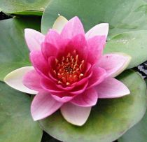 Nymphaea \'Attraction\'
