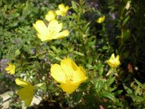 Oenothera fructicosa \'African Sun\' ou oenothere à floraison dressée jaune en été, vivace caduque de massif au soleil en sol plutôt sec.