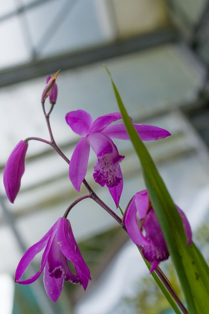 Bletilla striata 39 purple 39 ou orchid e vivace for Soldes plantes vivaces