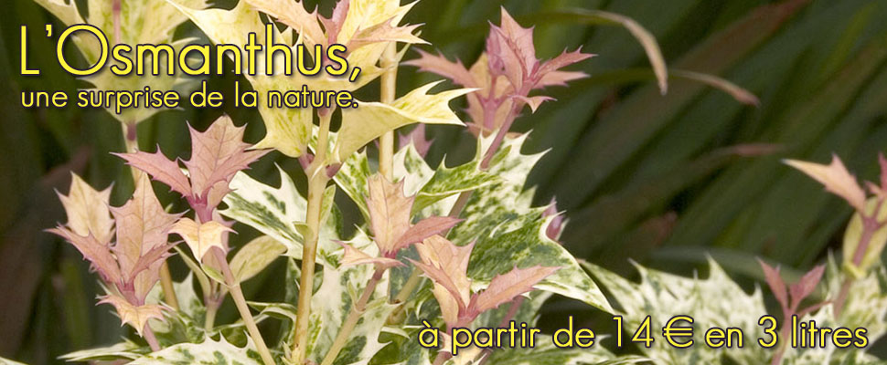 Retrouvez nos différentes variétés d'osmanthes aux feuillages décoratifs et aux fleurs parfumées.