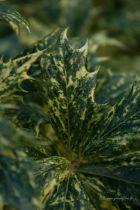 Osmanthus*  heterophyllus \'Goshiki\' = \'Tricolor\'