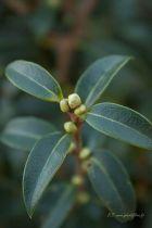 Osmanthus x Burkwoodi, arbuste persistant à feuilles vertes et à fleurs blanches parfumées au printemps.