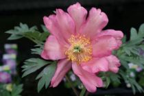 Paeonia itoh \'Julia Rose\'