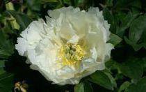 Paeonia itoh \'White Emperor\'\'