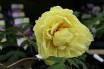 Paeonia itoh \'Yellow Crown\'