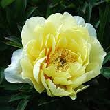 Paeonia itoh \'Yellow Doodle dandy\'