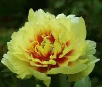 PAEONIA itoh Yellow haven