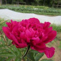 Paeonia lactiflora \'Big Ben\', vivace à feuille caduc vert foncé aux fleurs rouge au printemps.