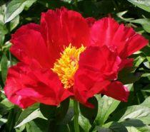 Paeonia lactiflora \'Blaze\', vivave à feuille caduc vert et aux fleurs rouge cerise au printemps.