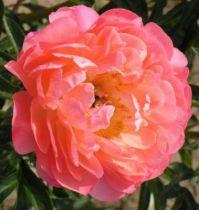 Paeonia lactiflora \' Coral Sunset \'