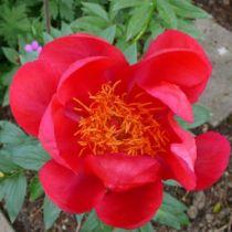 Paeonia lactiflora \' Flame \', vivace à feuille caduc vert et aux fleurs rouge au printemps.