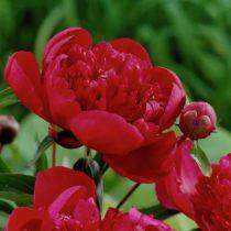 Paeonia lactiflora \' Inspecteur Lavergne \', vivace à feuille caduc vert et aux fleurs rouge au printemps.