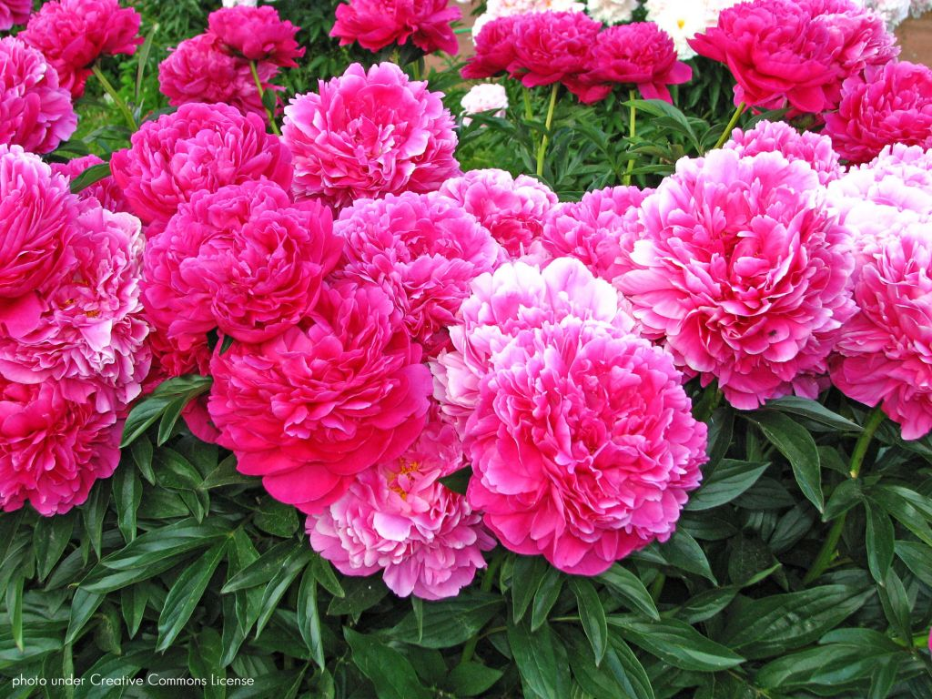 Paeonia lactiflora 39 kansas 39 ou pivoine herbac e for Soldes plantes vivaces