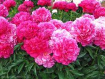 Paeonia lactiflora \' Kansas \', vivace à feuille caduc vert et aux fleurs rouge rosé au printemps.