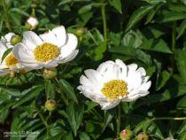 Paeonia lactiflora \' Krinkle White \'