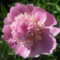 Paeonia lactiflora \' Madame Emile Debatène \'