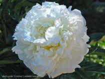 Paeonia lactiflora \' Marie Lemoine \'