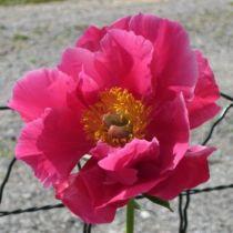 Paeonia lactiflora \' Paula Fay \'