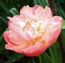 Paeonia lactiflora \' Pink Hawaiian Coral \'