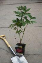 Paeonia lactiflora \' Sébastian Maas \'