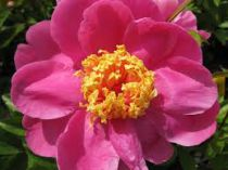 Paeonia lactiflora \'Doreen\'