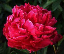 Paeonia lactiflora \'Karl Rosenfield\'