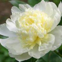 Paeonia lactiflora \'Laura Dessert\'