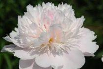Paeonia lactiflora \'Noemie Demay\'