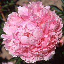 Paeonia lactiflora rose