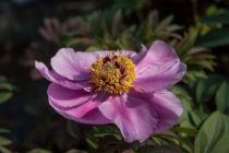 Paeonia officinalis \'Mollis\', Vivace à feuilles caduc vert et aux fleurs rose vif au printemps.