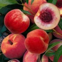 Pêcher \'Andromède\' ® zaidrome, arbre fruitier caduc à feuille verte et aux fruits rouge et jaune en été.