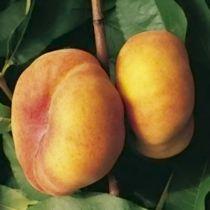 Pêcher \'Jalousia\' ® Ferjalou, arbre fruitier caduc à feuille verte et aux fruits rouge en été.