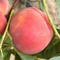 Pêcher \'Red Haven\', arbre fruitier caduc à feuille verte et aux fruits rouge en été.