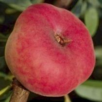 Pêcher \'Saturne\' ® baillou, arbre fruitier caduc à feuille verte et aux fruits rouge en été.