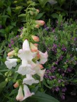 Penstemon phoenix \' Apple Blossom \'