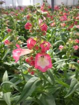 Penstemon phoenix \' Rose \'