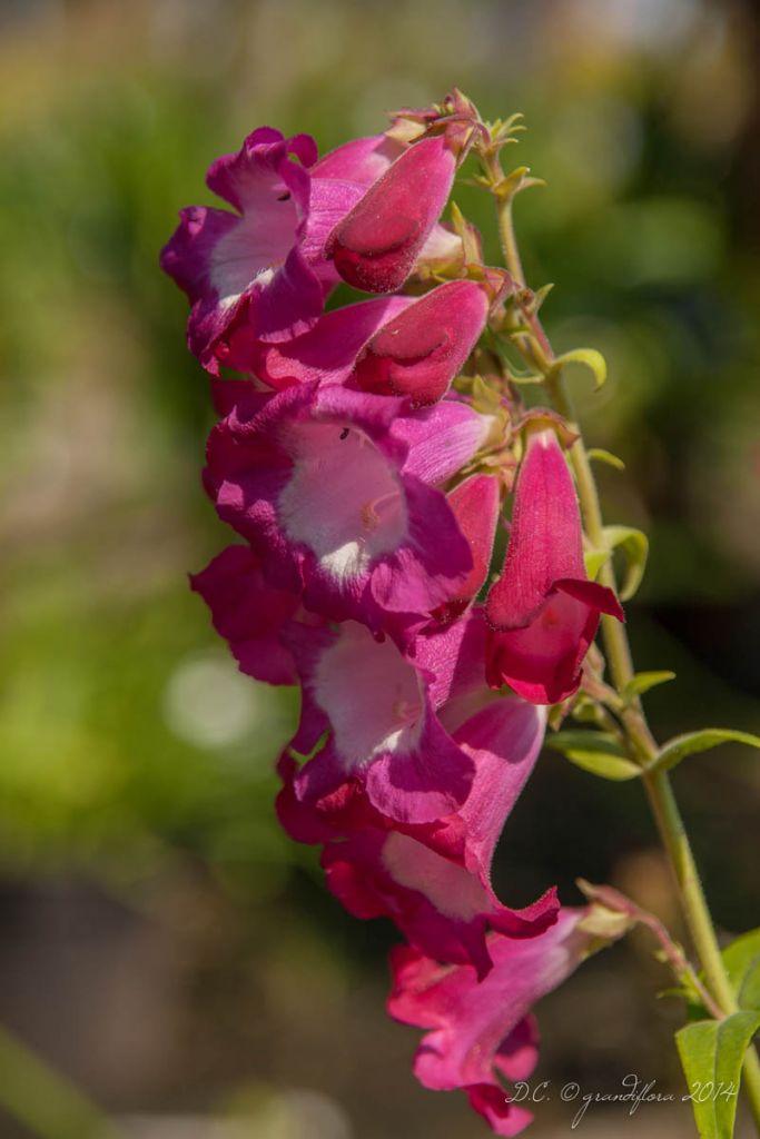 Penstemon phoenix Magenta, vivace caduque au feuillage vert et aux fleurs en clochettes rouge magenta sur des hampes florales en été.