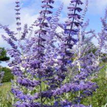 Perovskia atriplicifolia \'Blue Spire\'