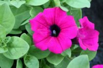 Pétunia retombant \'Purple\'
