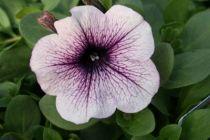 Pétunia retombant \'Purple Vein\'