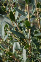 Phillyrea* angustifolia
