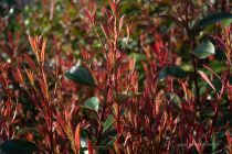 Photinia x fraseri \' Red Robin\'