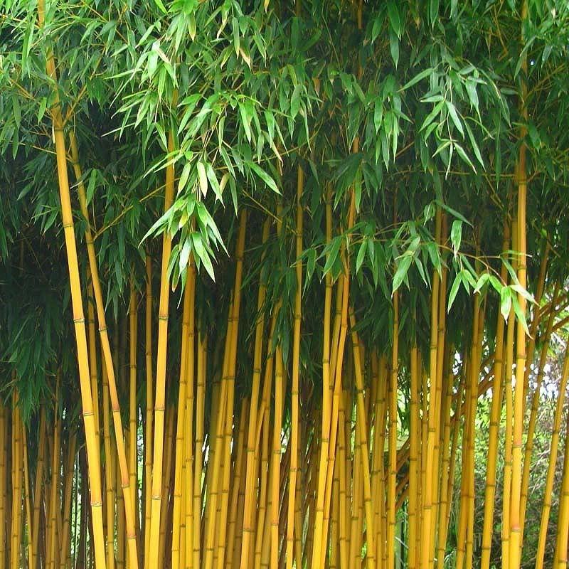 bambou moyen phyllos aureosulcata aureocaulis grandiflora. Black Bedroom Furniture Sets. Home Design Ideas