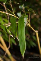 Phyllostachys aureosulcata \'Spectabilis\'