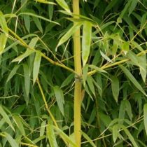Bambou phyllostachys heteroclada